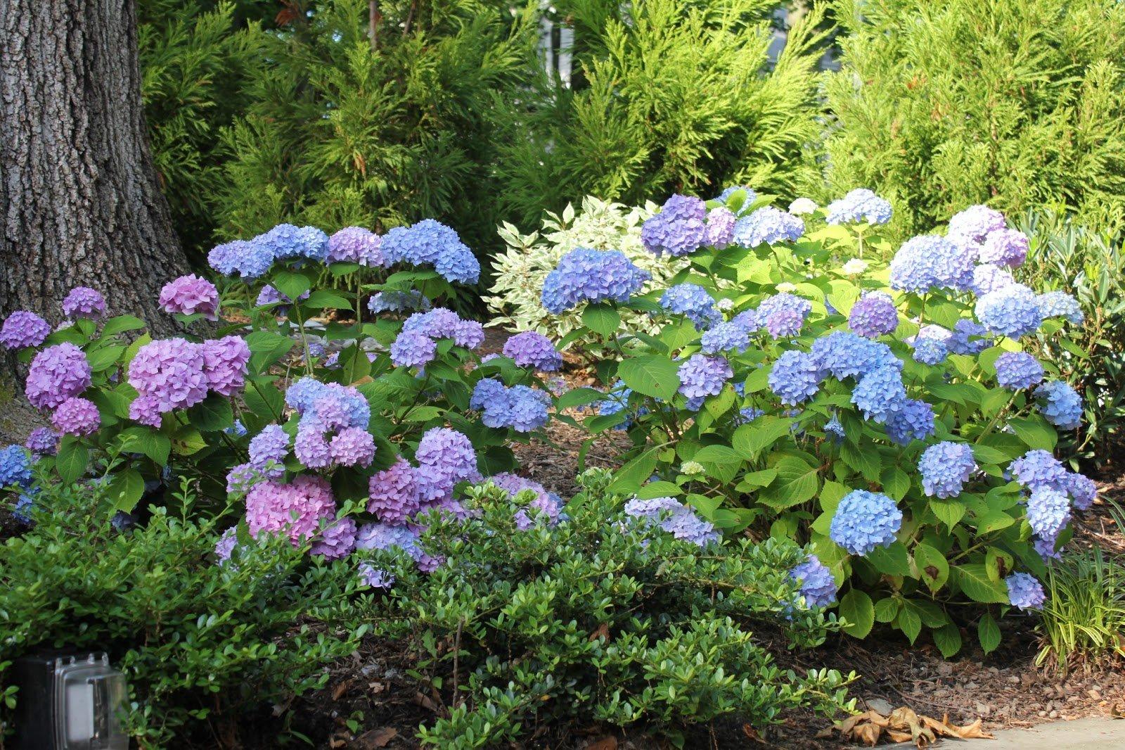 Гортензия садовая выращивание