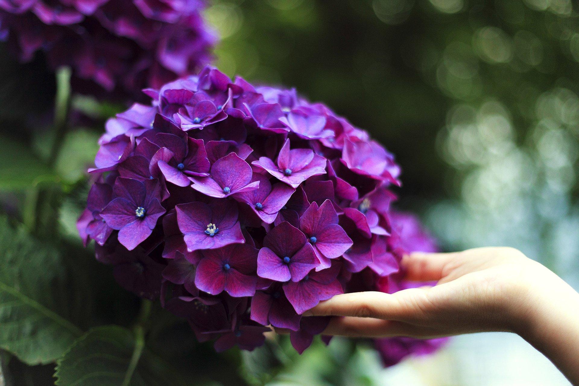 Гортензия садовая
