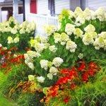 Гортензия с многолетними цветами