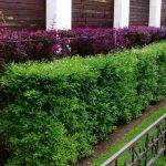 Фиолетовые кустарники для живой изгороди
