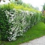 Живая изгородь из цветущих кустарников