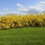 Живая изгородь из желтых кустарников