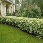 Декоративная изгородь из бересклета