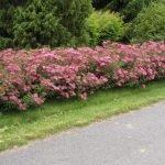 Розовая спирея