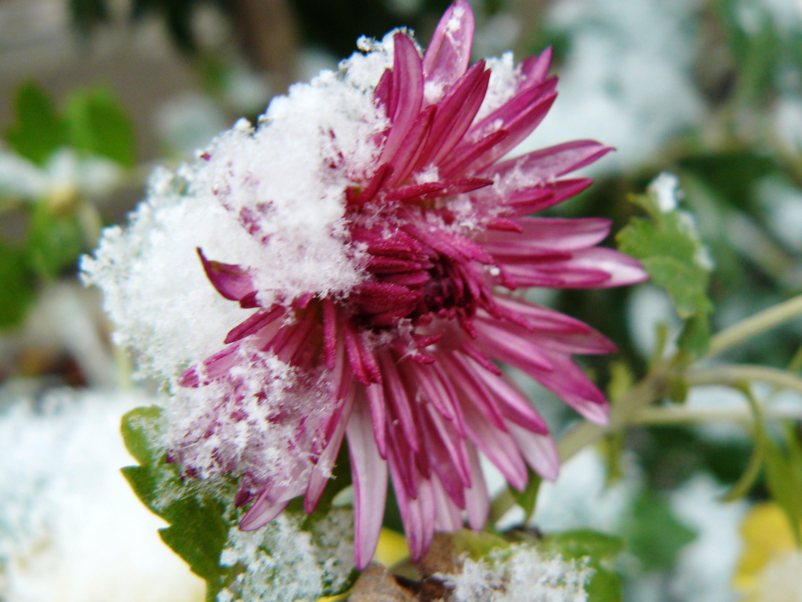 Картинки цветы под снегом осень