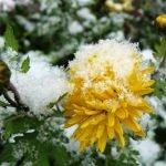 Снег на цветах