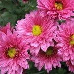 Зимостойкие хризантемы