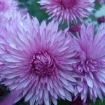 Морозостойкая хризантема