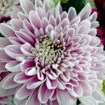 Крупная хризантема