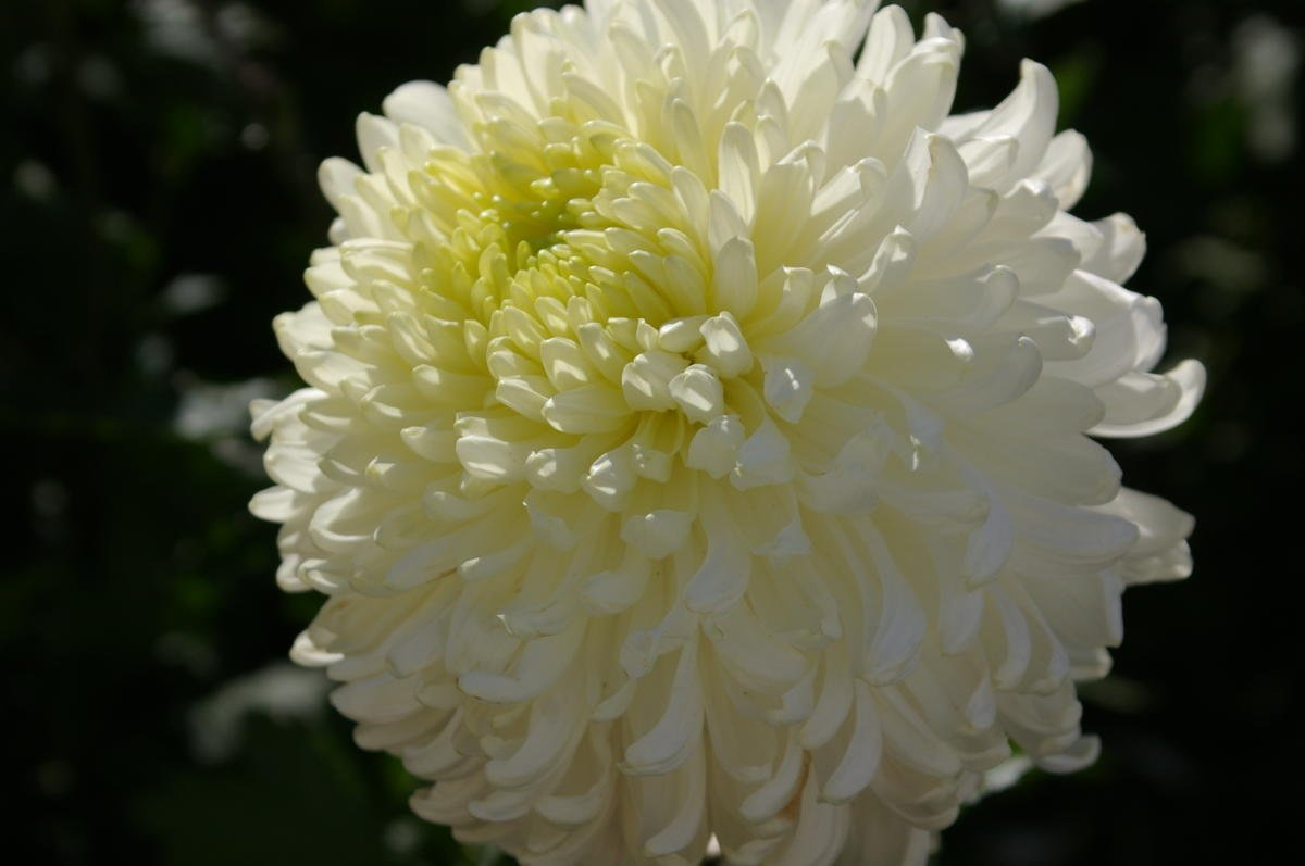 купированием подразумевается все крупноцветковые хризантемы фото музыкальное поздравление днем