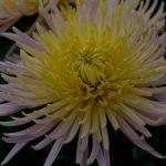 Хризантема садовая