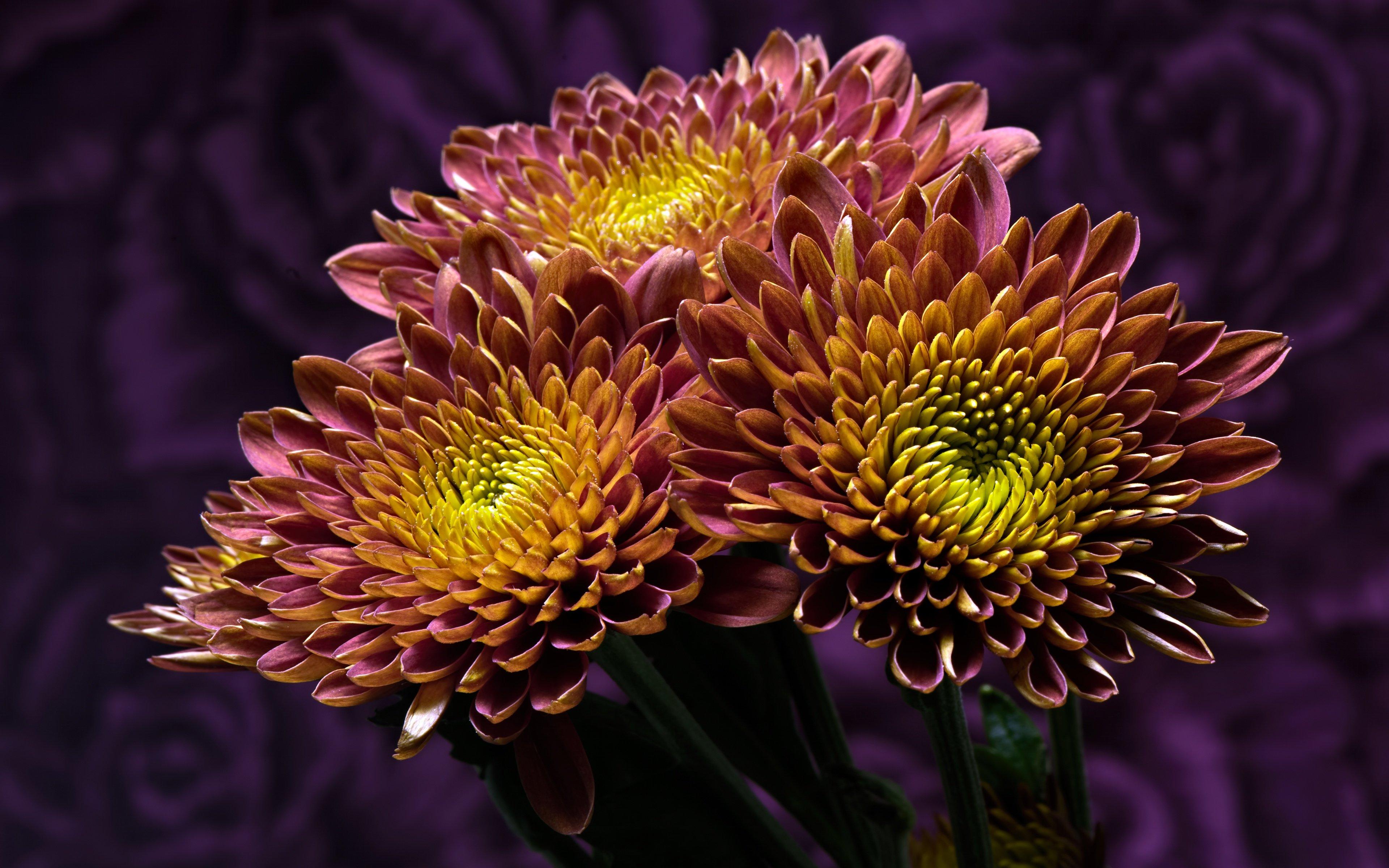 Хризантема двухцветная