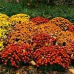 Кусты хризантем