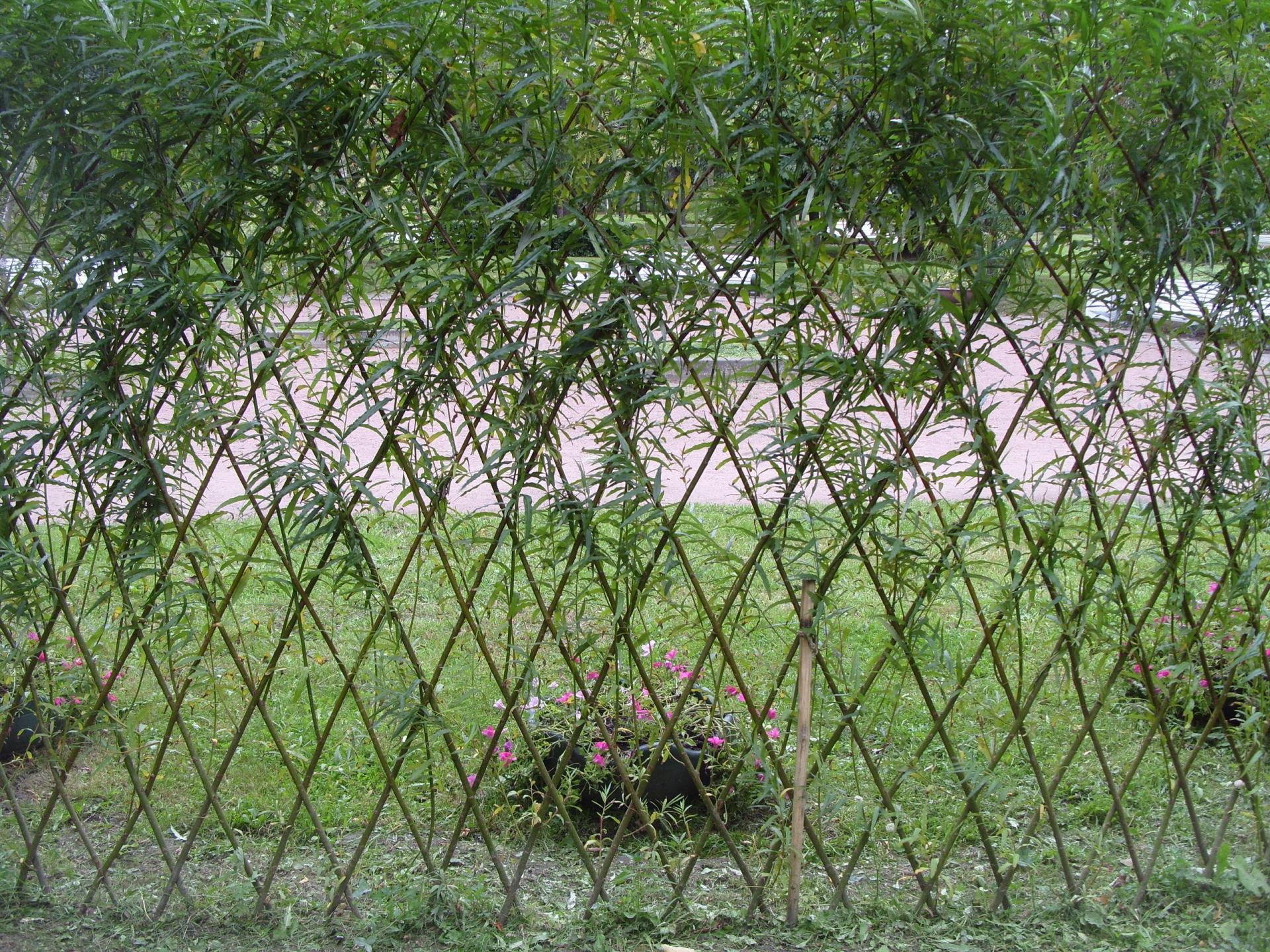 Живой забор на даче своими руками фото