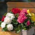 Бегония цветет