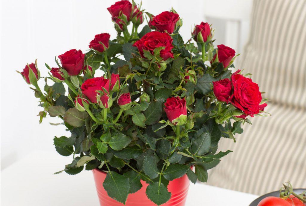 Уход за розами в горшках дома