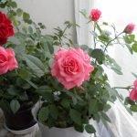Розы возле окна