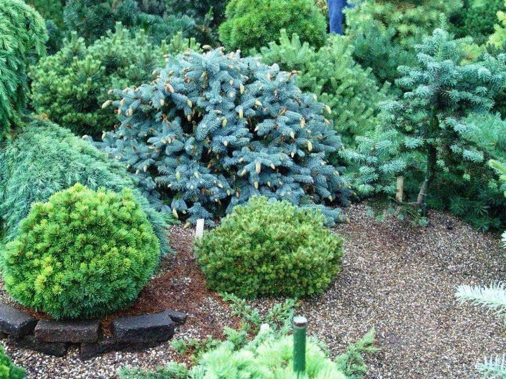 Где лучше сажать хвойники в саду 59